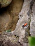 Rana roja de los pantalones vaqueros sobre roca Foto de archivo libre de regalías