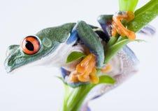 Rana roja del ojo Foto de archivo libre de regalías
