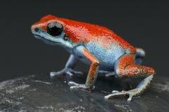 Rana roja y azul del dardo de la fresa Fotos de archivo
