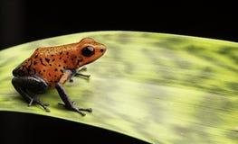 Rana rossa Costa Rica del dardo del veleno della fragola Fotografia Stock
