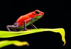 Rana rossa Costa Rica del dardo del veleno della fragola fotografie stock libere da diritti