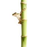 Rana su bianco isolato bambù Immagine Stock Libera da Diritti