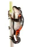 Rana tanzaniana del piedino della tigre Immagini Stock Libere da Diritti