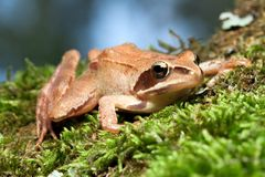 Rana Temporaria - Brown Frog Stock Photos