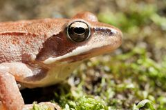 Rana Temporaria - Brown Frog Stock Photography