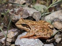 Rana temporaria. Closeup on a Common Frog (Rana temporaria) sitting on a rocks stock images