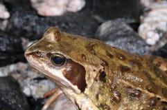 Rana temporaria, common frog. Closeup portrait Royalty Free Stock Images