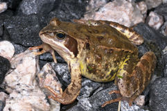 Rana temporaria, common frog. Closeup portrait Stock Photography