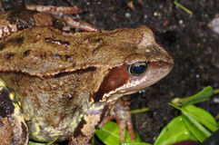 Rana temporaria, common frog Stock Photos