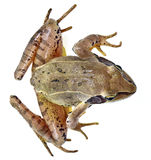Rana temporaria - common frog Stock Photos