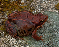 Rana temporaria, common frog ....deep red variant. Rana temporaria, common frog deep red variant full of spawn sitting on a rock in spring at Sweden Royalty Free Stock Photography