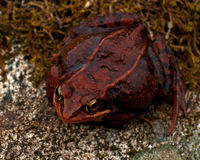 Rana temporaria, common frog ....deep red variant. Rana temporaria, common frog deep red variant full of spawn sitting on a rock in spring at Sweden Stock Photography
