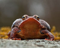 Rana temporaria, common frog ....deep red variant Stock Photo