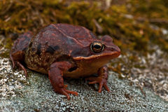 Rana temporaria, common frog ....deep red variant. Rana temporaria, common frog deep red variant full of spawn sitting on a rock in spring at Sweden Stock Photo