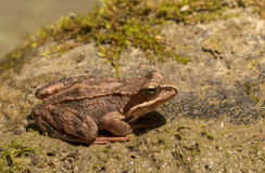 Rana temporaria. Common Frog (Rana temporaria) sitting on a stone royalty free stock photos