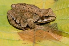 Rana temporaria. Detail frog Rana temporaria on autumn leaves stock photo