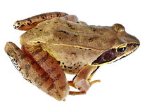 Rana temporaria - frog Royalty Free Stock Image