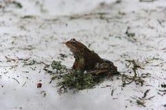 Rana temporaria marrone comune della rana dell'europeo Fotografie Stock Libere da Diritti