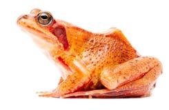 Rana temporaria marrone comune della rana di erba fotografia stock