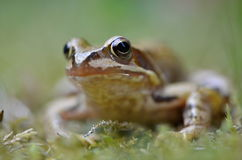 Rana temporaria in nature. Frog Rana temporaria in nature Stock Images