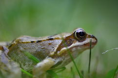 Rana temporaria in nature. Frog Rana temporaria in nature Stock Photos