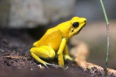 Rana terribile del dardo del veleno (bilis di Phyllobates) fotografia stock libera da diritti