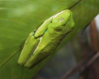 Rana tropical de la hoja Imagen de archivo libre de regalías