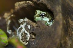 Rana tropical de ocultación Fotografía de archivo