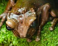 Rana tropicale marrone centro americana Fotografia Stock Libera da Diritti