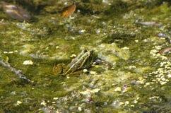 Rana in un bacino idrico Fotografia Stock Libera da Diritti