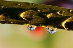 Rana in una goccia di pioggia Fotografia Stock
