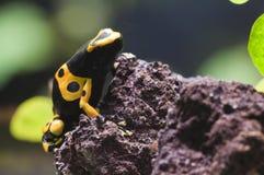 Rana venenosa tropical negra y amarilla Fotos de archivo libres de regalías