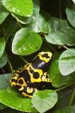 Rana venenosa tropical negra y amarilla Imagen de archivo libre de regalías
