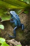 Rana venenosa tropical negra y azul Imágenes de archivo libres de regalías