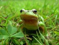 Rana verde Immagini Stock
