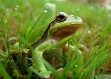 Rana verde Fotografie Stock Libere da Diritti