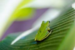 Rana verde Imagen de archivo libre de regalías