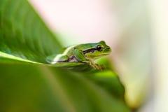 Rana verde Imagen de archivo