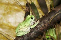 Rana verde fotos de archivo