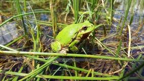 Rana verde Fotografía de archivo libre de regalías
