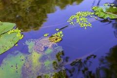 Rana verde in acqua Fotografie Stock Libere da Diritti
