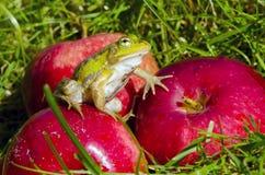 Rana verde animale sulla mela rossa in giardino Immagini Stock