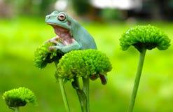 Rana verde che appende sul fiore Fotografia Stock