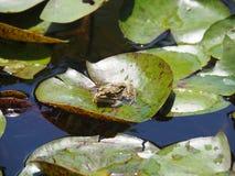 Rana verde che si siede su una foglia del loto immagini stock libere da diritti