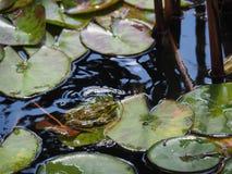 Rana verde che si siede su una foglia del loto immagine stock libera da diritti