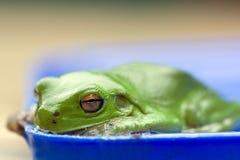 Rana verde in ciotola di acqua Fotografia Stock