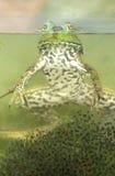 Rana verde (clamitans del Rana) Imágenes de archivo libres de regalías