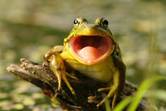 Rana verde (clamitans del Rana) con la boca abierta Fotos de archivo libres de regalías