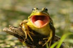 Rana verde (clamitans del Rana) con la bocca aperta Fotografie Stock Libere da Diritti