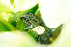 Rana verde coperta dalle foglie Fotografia Stock